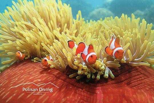 pulisan diving indonesia nemo fish