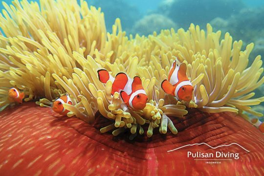 pulisan diving pulisan resort indonesia
